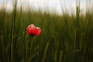 just a poppy. by liberty-hateless