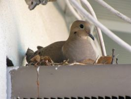 Mother Mourning Dove by Unicornmon