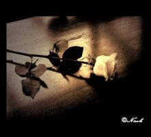 Lone rose by nicole0525