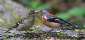 Dad feeding fledgling by NurturingNaturesGift
