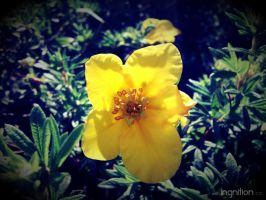 Summer Flower 2012 - 17 by Ingnition