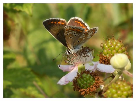 Butterfly and bramble by ZB652