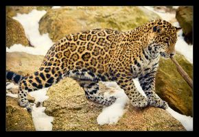 Jaguar Cub: After a Swim by Flame-of-the-Phoenix