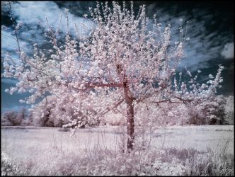 Little Funny Tree infrared by MichiLauke
