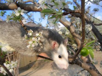 Spring and Rats Series -Danny2 by Kitzira