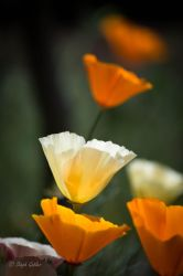 Mission Bell Poppies III by StephGabler