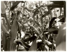 Corn Patch by timonator1400