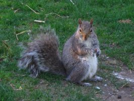 Squirrel 2 by MapleRose-stock