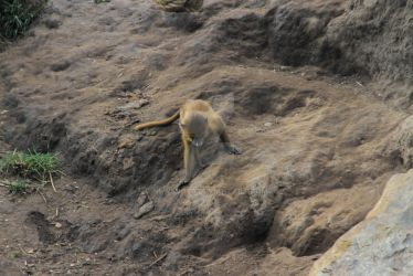Baby baboon 1 by NEWSBOT3