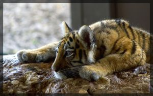 tiger sleeping on the stone by miezbiez