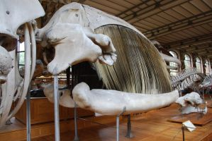 Southern Right Whale skull by Loup-de-Feu
