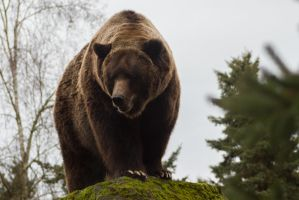 Brown Bear 20 by CastleGraphics