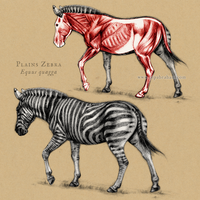 Plains Zebra Anatomy by oxpecker