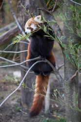 Red Panda by morgh-us