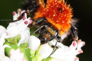 Orange Bumble Bee by Bliss89