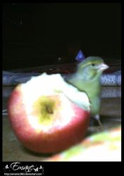 Canary with apple by Emane1983