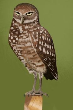 2015.03.18 - Burrowing Owl Study by Anmaril