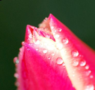 Tulip.2 by Drvall