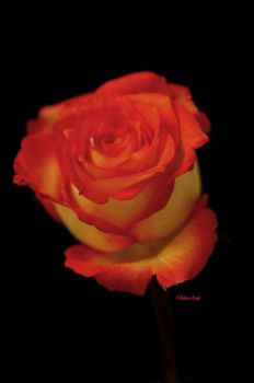 The Friday Rose 56 by Deb-e-ann