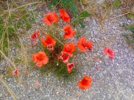 Red flowers by PaolaCamberti