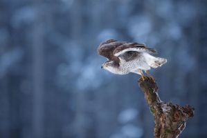 Hawk at take-off (Accipiter gentilis) by AlesGola