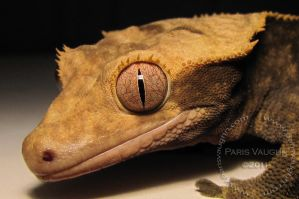 Crested Gecko Close-up by Pareeeee