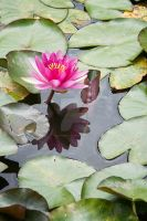 Pink waterlily 2 by madamemonty