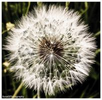 DANDELION by IME54-ART