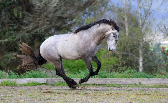 Andalusian Stallion Stock 2 by xxMysteryStockxx