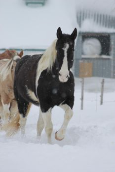 Stock - Black Tobiano Paint Horse by Miss-Ketchup