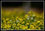 Spring Groundsel by geostant