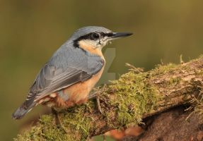 I'm after your nuts - Nuthatch by Jamie-MacArthur