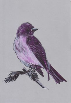Purple Martin by megarea