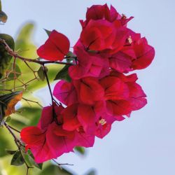 Bougainvillea by sequential