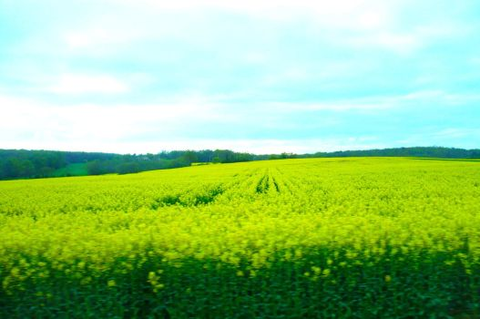 Field of Gold 1 by nicolapin