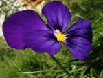 Purple by flendurica