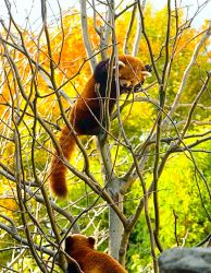 Red Pandas No. 1 STOCK by slephoto