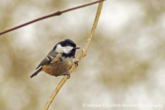 Coal Tit on a Branch by Hitomii