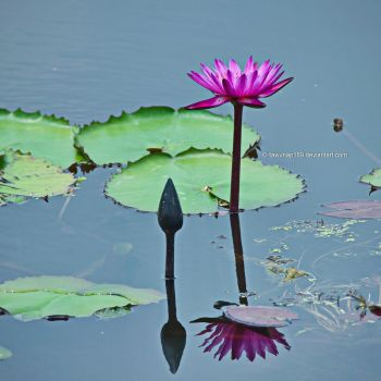 Lotus Reflection by tawunap159