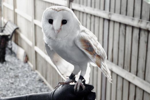 Barn Owl by CitizenJustin