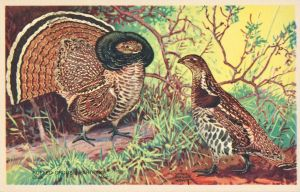 Ruffed Grouse by Yesterdays-Paper