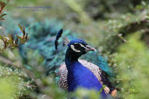 Peafowl by bureska