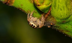 Jumping spider by MaccaBeast