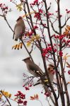 Bohemian Waxwings by Midnight-Sun-Art