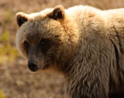Grizzly seduction by JWFisher
