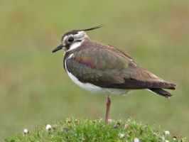 Hello - Lapwing, or Green Plover or Pewit by Jamie-MacArthur