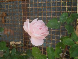 Pink rose by iside2012
