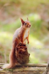 Red Squirrel by FreyaPhotos