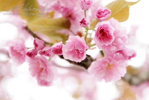 Japanese flowering cherry by Estelle-Photographie