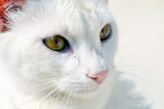 White Kitty by SoieRouge